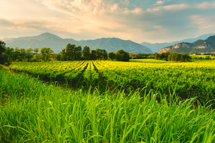 Vineyard in Franciacorta, Italy, Europeの写真素材 [FYI03797496]