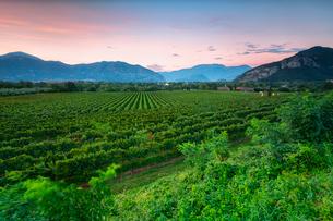 Vineyard at sunset in Franciacorta, Italy, Europeの写真素材 [FYI03797497]