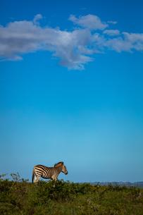 Zebra on Safari, South Africa, Africaの写真素材 [FYI03797748]