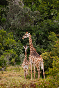 Giraffes on Safari in South Africa, in a private game reserve, South Africa, Africaの写真素材 [FYI03797758]