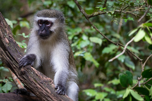 Vervet Monkey, in a South Africa Sanctuary, South Africa, Africaの写真素材 [FYI03797759]