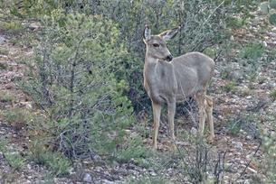 A Mule Deer native to Arizona roaming the forest near Prescott, Arizona, United States of America, Nの写真素材 [FYI03798102]