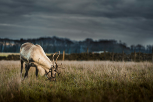 A reindeer eating grass on the outskirts of the Peak District, South Yorkshire, Yorkshire, England,の写真素材 [FYI03798242]