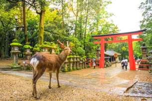 Wild deer and red Torii gate of Kasuga Taisha Shine, one of the most popular temples, Nara Park, Narの写真素材 [FYI03798273]