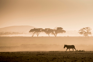Zebras on the move at dusk across the dusty landscape of Amboseli National Park, Kenya, East Africa,の写真素材 [FYI03798371]