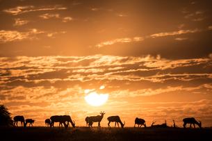Topis at sunrise, Maasai Mara, Kenya, East Africa, Africaの写真素材 [FYI03798372]