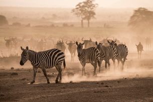 Wildebeests and zebras on the move at dusk across the dusty landscape of Amboseli National Park, Kenの写真素材 [FYI03798384]