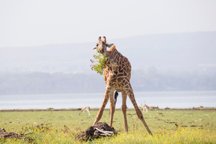 Giraffe munching leaves in the early morning, Crescent Island Game Sanctuary, Lake Naivasha, Great Rの写真素材 [FYI03798389]