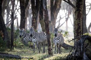Zebras in early morning. Crescent Island Game Sanctuary, Lake Naivasha, Great Rift Valley, Kenya, Eaの写真素材 [FYI03798394]