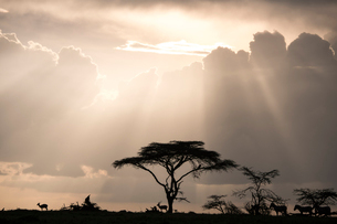 Impala and zebras on a ridge during a storm at sunset in the Maasai Mara National Reserve, Kenya, Eaの写真素材 [FYI03798398]