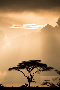 Impala (antelope) taking shelter under an acacia tree during a storm at sunset in the Maasai Mara Naの写真素材 [FYI03798400]