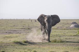 Elephant stirring up dust in Amboseli National Park, Kenya, East Africa, Africaの写真素材 [FYI03798418]