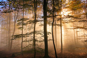 Autumnal forest near Kastel-Staadt, Rhineland-Palatinate, Germany, Europeの写真素材 [FYI03798503]