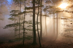 Autumnal forest near Kastel-Staadt, Rhineland-Palatinate, Germany, Europeの写真素材 [FYI03798505]