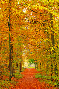 Autumnal forest near Kastel-Staadt, Rhineland-Palatinate, Germany, Europeの写真素材 [FYI03798507]