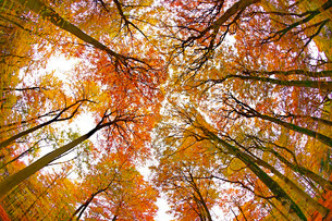 Autumnal forest near Kastel-Staadt, Rhineland-Palatinate, Germany, Europeの写真素材 [FYI03798512]