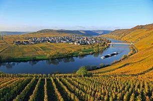 Vineyards near Trittenheim, Moselle Valley, Rhineland-Palatinate, Germany, Europeの写真素材 [FYI03798518]