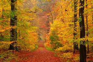 Autumnal forest, Kastel-Staadt, Rhineland-Palatinate (Rheinland-Pfalz), Germany, Europeの写真素材 [FYI03798527]