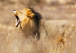 Roaring lion (Panthera leo), Kgalagadi Transfrontier Park, Kalahari, Northern Cape, South Africa, Afの写真素材 [FYI03798608]