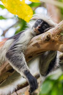 Endemic Red Colobus monkey (Piliocolobus), Jozani Forest, Jozani Chwaka Bay National Park, Island ofの写真素材 [FYI03798623]