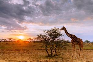 Giraffe (Giraffa camelopardalis) at sunset, Serengeti National Park, UNESCO World Heritage Site, Tanの写真素材 [FYI03798624]