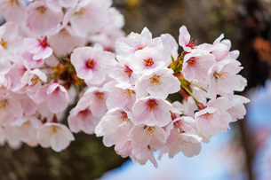 Cherry blossom, Kyoto, Japan, Asiaの写真素材 [FYI03798731]
