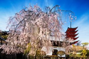 Cherry blossom at Komyoin five story pagoda, UNESCO World Heritage Site, Miyajima Island, Hiroshimaの写真素材 [FYI03798737]