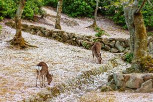 Wild deer and cherry blossom, Miyajima Island, Hiroshima Prefecture, Honshu, Japan, Asiaの写真素材 [FYI03798743]