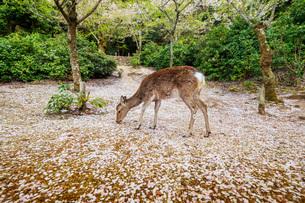 Wild deer and cherry blossom, Miyajima Island, Hiroshima Prefecture, Honshu, Japan, Asiaの写真素材 [FYI03798745]