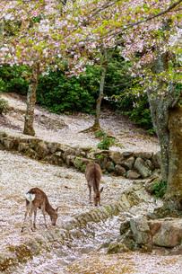 Wild deer and cherry blossom, Miyajima Island, Hiroshima Prefecture, Honshu, Japan, Asiaの写真素材 [FYI03798747]
