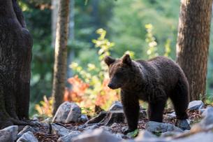 European brown bear (Ursus arctos), Notranjska forest, Slovenia, Europeの写真素材 [FYI03798877]