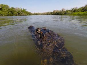 A jacare caiman (Caiman yacare) patrols the Rio Claro, Mato Grosso, Brazil, South Americaの写真素材 [FYI03798885]