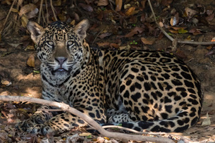Jaguar (Panthera onca), Pantanal, Mato Grosso, Brazil, South Americaの写真素材 [FYI03798887]