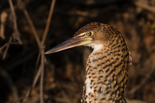 Portrait of an immature rufescent tiger-heron (Tigrisoma lineatum), Mato Grosso, Brazil, South Ameriの写真素材 [FYI03798889]