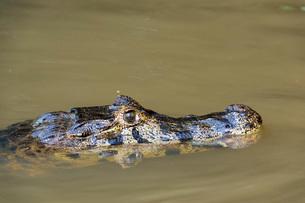 Jacare Caiman (Caiman yacare), Pantanal, Mato Grosso, Brazil, South Americaの写真素材 [FYI03798894]