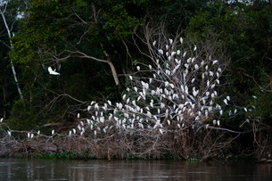 A cattle egret dormitory (Bubulcus ibis) on the Cuiaba River bank, Mato Grosso, Brazil, South Americの写真素材 [FYI03798897]