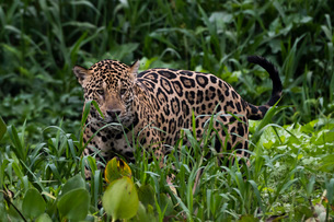 A jaguar (Panthera onca) walking in the tall grass, Mato Grosso, Brazil, South Americaの写真素材 [FYI03798903]