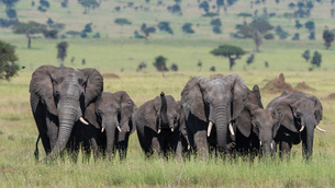 African elephant herd (Loxodonta africana) walking in the Serengeti, UNESCO World Heritage Site, Tanの写真素材 [FYI03798908]