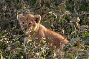 Lion cub (Panthera leo), Ndutu, Ngorongoro Conservation Area, Serengeti, UNESCO World Heritage Site,の写真素材 [FYI03798912]