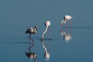 Greater Flamingo (Phoenicopterus roseus), Lake Ndutu, Ngorongoro Conservation Area, UNESCO World Herの写真素材 [FYI03798915]
