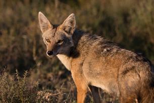 Golden jackal (Canis aureus), Ndutu, Ngorongoro Conservation Area, UNESCO World Heritage Site, Tanzaの写真素材 [FYI03798920]