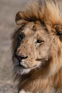 Male lion (Panthera leo), Ndutu, Ngorongoro Conservation Area, UNESCO World Heritage Site, Tanzania,の写真素材 [FYI03798924]