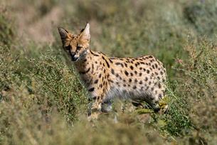 Serval (Leptailurus serval), Ndutu, Ngorongoro Conservation Area, UNESCO World Heritage Site, Tanzanの写真素材 [FYI03798925]