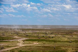 Plains zebras (Equus quagga), Ndutu, Serengeti, UNESCO World Heritage Site, Tanzania, East Africa, Aの写真素材 [FYI03798926]