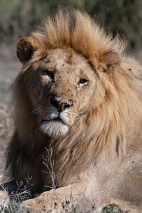 Male lion (Panthera leo), Ndutu, Ngorongoro Conservation Area, UNESCO World Heritage Site, Tanzania,の写真素材 [FYI03798928]