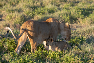 Lioness (Panthera leo) and its cub, Ndutu, Ngorongoro Conservation Area, UNESCO World Heritage Site,の写真素材 [FYI03798930]