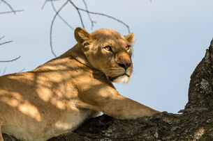 Lioness (Panthera leo) on a tree, Ndutu, Ngorongoro Conservation Area, UNESCO World Heritage Site, Tの写真素材 [FYI03798935]