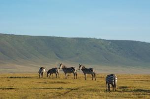 Common zebras (Equus quagga) in the Ngorongoro Crater, Ngorongoro Conservation Area, UNESCO World Heの写真素材 [FYI03798943]