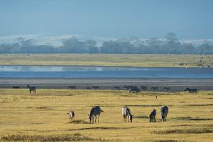 Common zebras (Equus quagga) in the Ngorongoro crater, Ngorongoro Conservation Area, UNESCO World Heの写真素材 [FYI03798944]