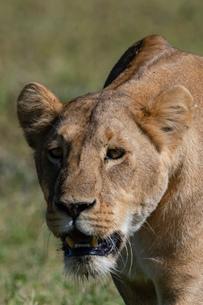 Lioness (Panthera leo), Ngorongoro crater, Ngorongoro Conservation Area, UNESCO World Heritage Site,の写真素材 [FYI03798946]